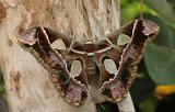 Forbes' Silkmoth (7761)