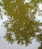 Maple tree reflected in water