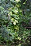 Large pothos vine