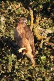 Red-tailed Hawk, Rufous Morph
