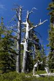 Twin Silvery Pines