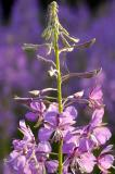 Fireweed in Morning Light