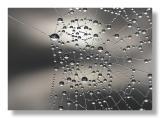 Dew laden cobwebs