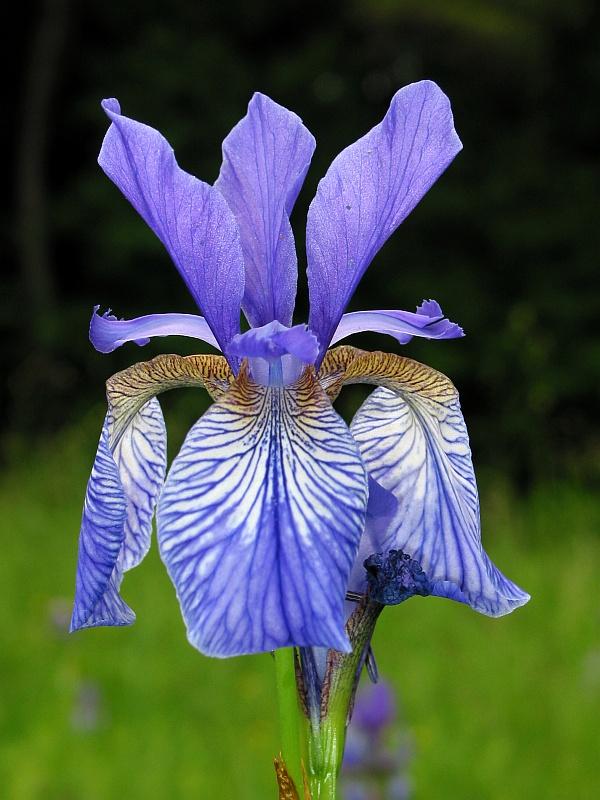 Iris sibirica (wild)