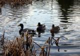 Sheffield Park - Ducks