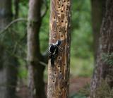 The Greater Spotted Woodpecker I