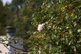 Rose test 4