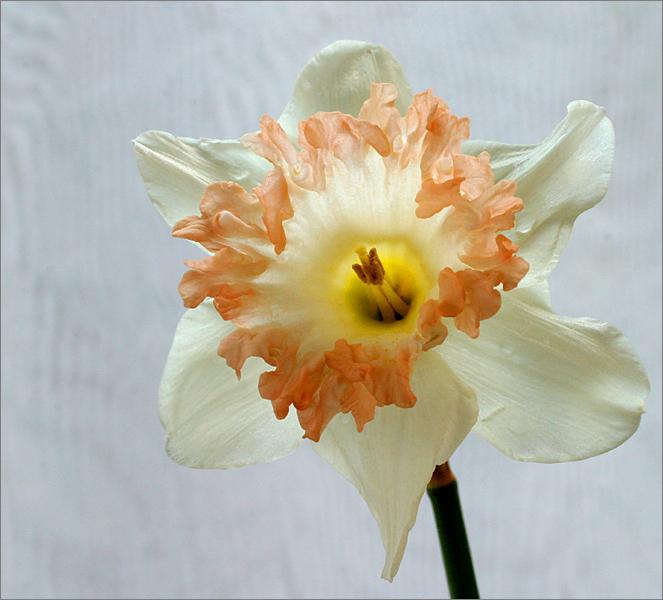 pink daffodil