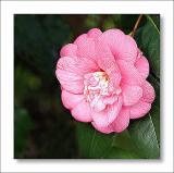 Camellia Faith