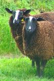 Two staring sheep