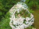 Hydrangeas (Hortensia)