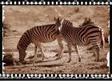 Zebras, Shamwari Reserve