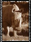 Rino Bull, Shamwari Reserve