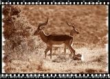 Tompsons Gazelles, Shamwari Reserve