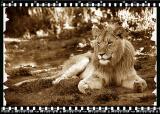 Lion Cub 2, Shamwari Reserve