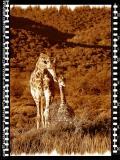 Giraffe Bull & Calf, Shamwari Reserve