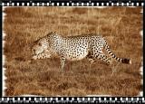 Cheeta 1, Shamwari Reserve