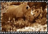 Rino Mother & Calf, Shamwari Reserve