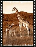 Giraffe Bull & Calfs, Shamwari Reserve