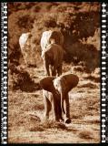 Baby Elefant 1, Shamwari Reserve