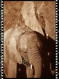 Baby Elefant 3, Shamwari Reserve