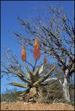 Aloe 1, Shamwari Reserve