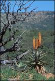 Aloe 2, Shamwari Reserve