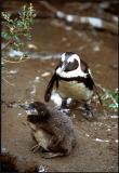 Jackass Penguin, Chick 1