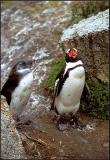 Jackass Penguin, Chick 3