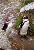 Jackass Penguin, Chick 4