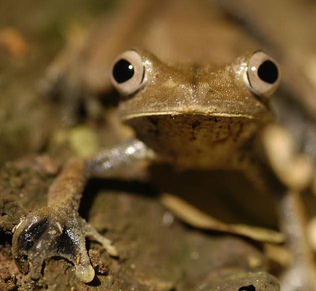 Brown Frog, Amazon