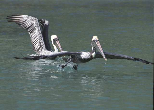 Pelicans, British Virgin Islands