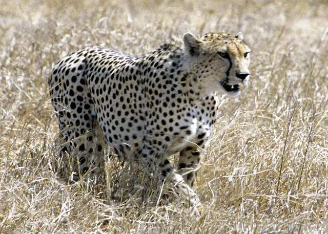 Cheetah hunting, Kenya
