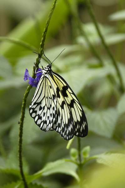 Butterfly, Amazon