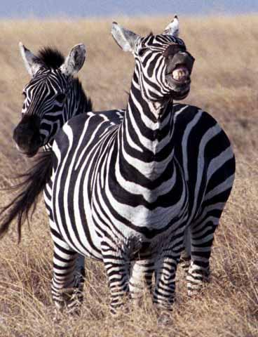 Laughing Zebra, Kenya