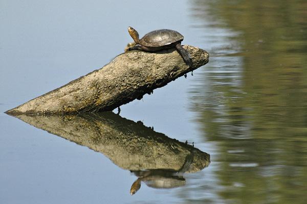 Delta Turtle Reflection