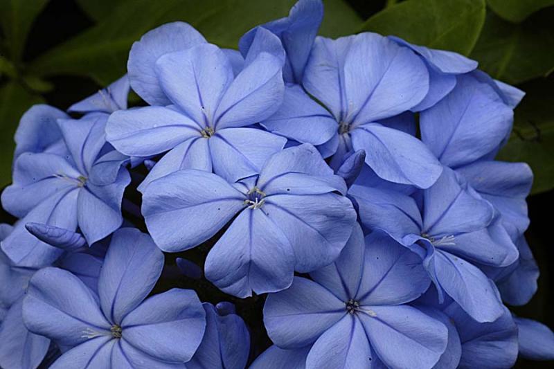 Plumbago blue jasmine Flower  Key West