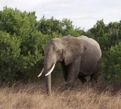 Bull Elephant, Kenya