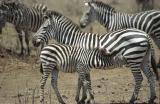 Zebra Nursing, Kenya