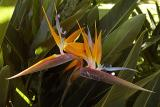 Bird of paradise Kauai