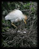 HJ2K7072 Cattle Egret