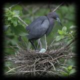 HJ2K7184 Little Blue Heron