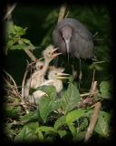 HJ2K7506 Little Blue Heron