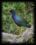 HJ2K8824 Purple Gallinule