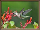 Hummingbird, Ruby-throated,  feeding.