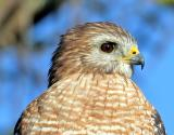 Red-shouldered Hawk,head shot,100% crop
