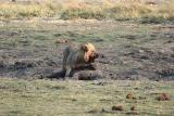 Lion Attacking Baby Elephant
