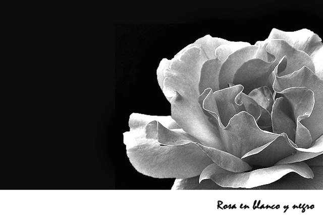 Rosa En Blanco Y Negro Photo Maribel Balius Photos At Pbasecom