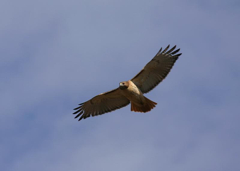 Red-Tailed in flight.JPG