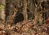 Great Horned Owl on Turkey carcass.JPG